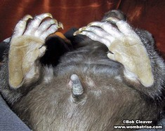 Hairy Nosed Wombat Rear Feet And Tail thumbnail