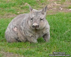 Hairy Nosed Wombat (Serl) In The Grass thumbnail