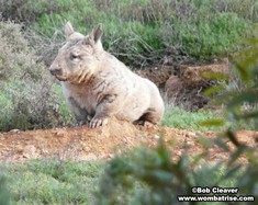 Hairy Nosed Wombat (Serl) In The Wild thumbnail