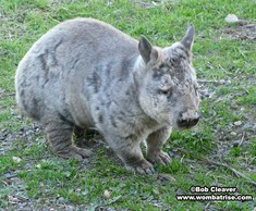 Hairy Nosed Wombat (Serl) thumbnail