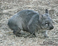 Hairy Nosed Wombat Side View thumbnail