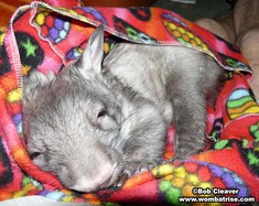 Hairy Nosed Wombat Sleeping (Ivy) thumbnail
