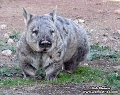 Hairy Nosed Wombat thumbnail