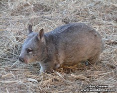 Hairy Nosed Wombat Walking thumbnail