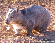 Hairy Nosed Wombat With Baby In The Pouch thumbnail