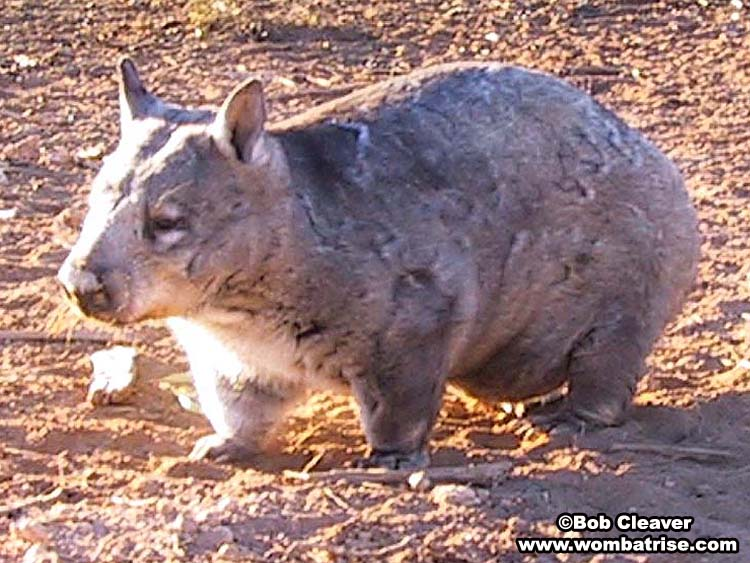 wombat backwards facing pouch