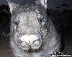 Hairy Nosed Wombats Broad Nose thumbnail