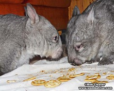 Hairy Nosed Wombats Eating Together thumbnail