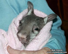 Hairy Nosed Young Wombat (Ivy) at 2 2kg thumbnail