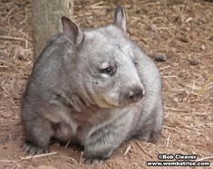 Hairynosed Wombat thumbnail
