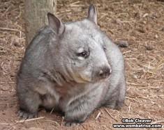 Hairynosed Wombat thumbnail