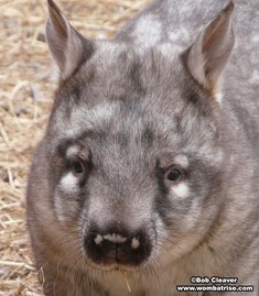 Head Of A Hairy Nosed Wombat thumbnail