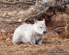 Light Colored Hairy Nosed Wombat thumbnail