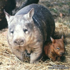 Mother Wombat And Young Son thumbnail