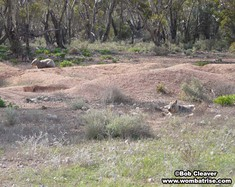Mounds Of Earth Excavated By Hairy Nosed Wombats thumbnail