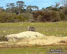 Wild Wombat On Its Burrow thumbnail