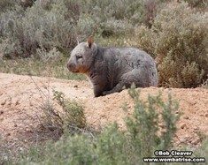 Wild Wombat Picture thumbnail