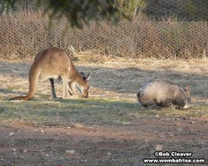 Wombat And Kangaroo Grazing Togehter thumbnail