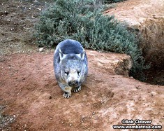 Wombat at Her Burrow (Wombles) thumbnail