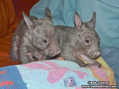 Wombat Babies (Joe and Serl) thumbnail
