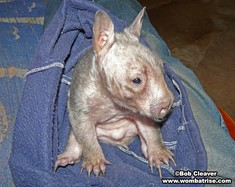 Wombat Baby thumbnail