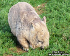 Wombat Eating Grass thumbnail