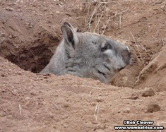 Wombat In A Burrow thumbnail