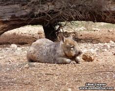 Wombat Sunning Itself thumbnail