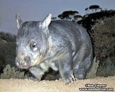 Wombat Walking (Wombles) thumbnail