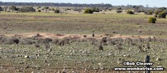 Wombats And Their Burrows thumbnail