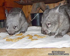 Wombats Eating Crackers thumbnail