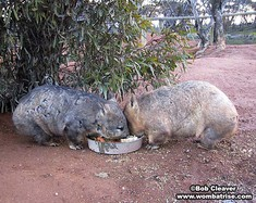 Wombats Feeding Together thumbnail