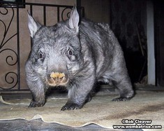 Young Hairy Nosed Wombat at 12kg thumbnail