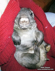 Young Hairy Nosed Wombat at 2 6kg thumbnail