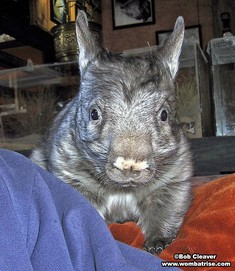 Young Hairy Nosed Wombat at 5kg thumbnail
