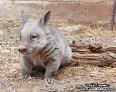 Young Hairy Nosed Wombat Outside thumbnail