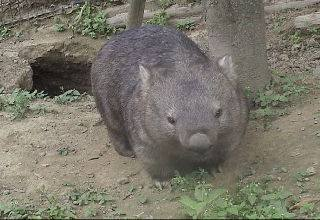 Bare-nosed wombat standing by its burrow