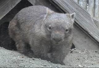 Captive Common wombat