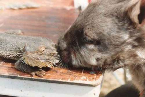 Southern Hairy nosed wombat and a lizard