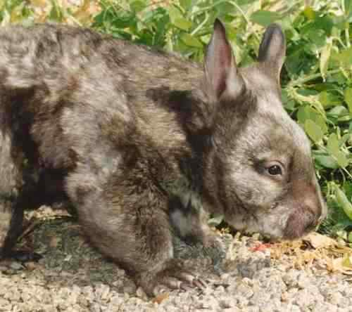 Hairy nosed wombat pic