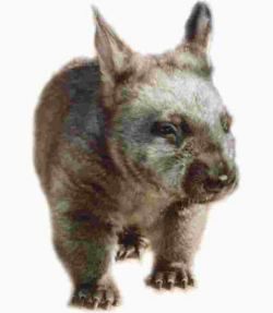Southern hairy nosed wombat (Lasiorhinus latifrons)