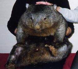 Bare-nosed wombat with a person
