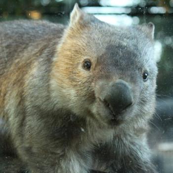 Chewbacca the wombat