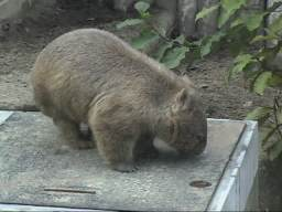 Bare-nosed wombat profile