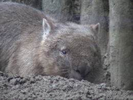 Wombat digging its burrow