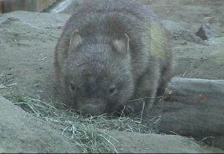 Common wombat feeding on grass