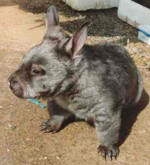 Southern hairy nosed wombat picture
