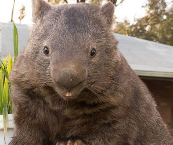 Patrick the oldest wombat alive
