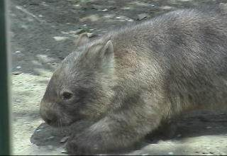 BCommon wombat's head and torso