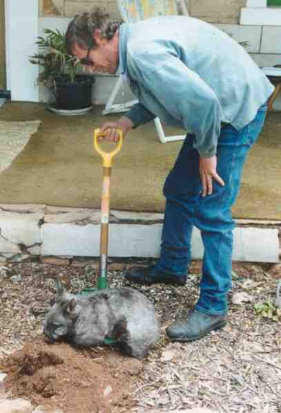 Digging with a Hairy nosed wombat